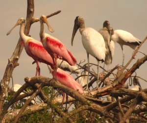 Wood storks and Roseat Spoonbills at nesting colony